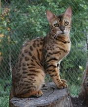 Бенгальские котята - домашние минилеопардики