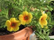 ампельные петунии и другие растения