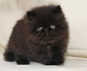 продаю котёнка
